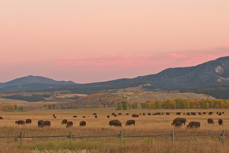 TRWY-8024: Buffalo herd in the Tetons