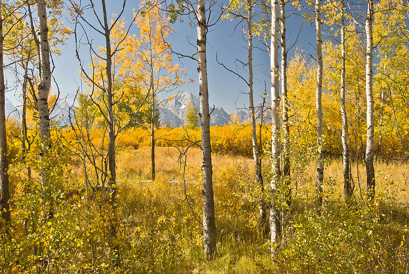 TRWY-8016: Golden Aspens in the Tetons