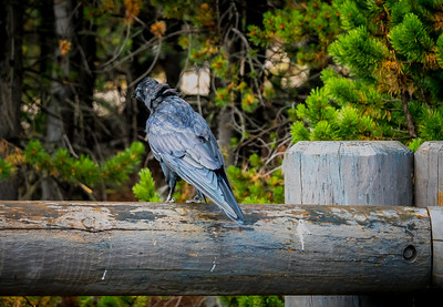 Yellowstone National Park-Raven