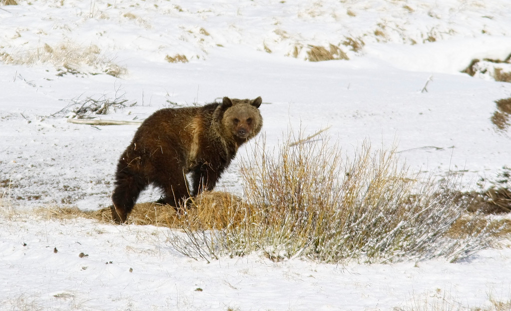 A Griz comes to the River for the First Spring Meal