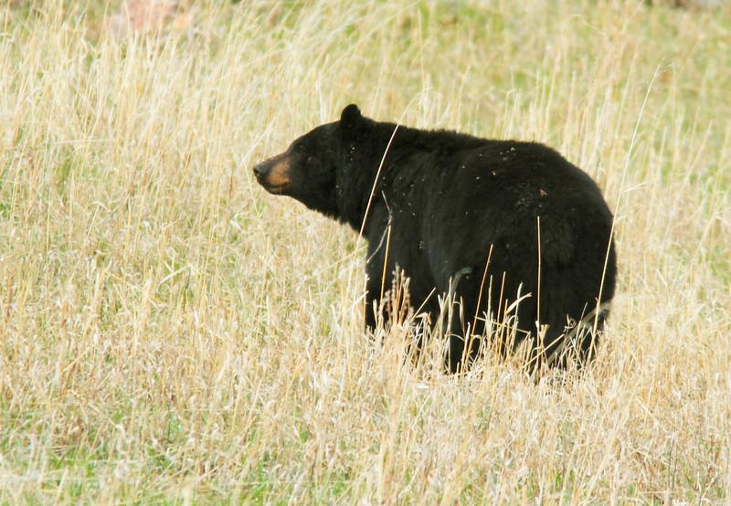 Black Bear In Mammoth