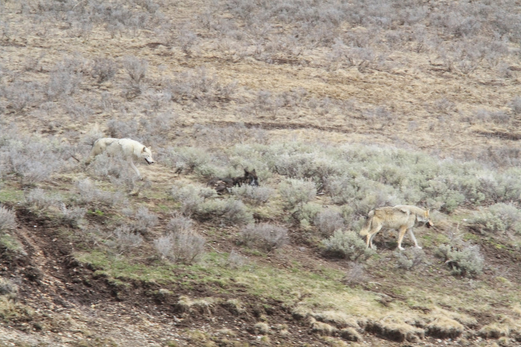 Canyon Wolf Pack just after an unsuccessful elk hunt. What a cool sight.