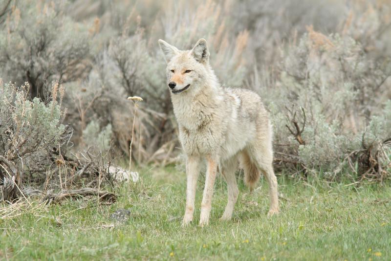 Coyote in Lamar. YNP.