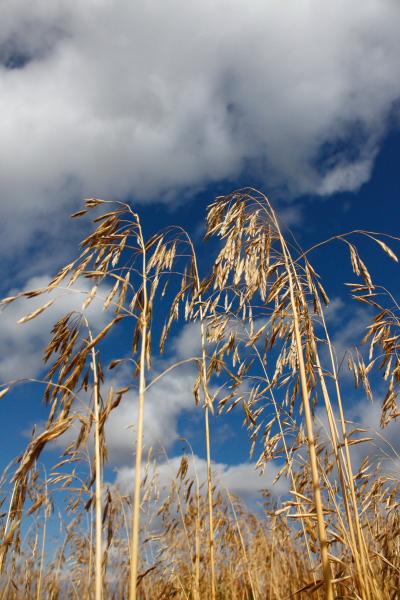 Dreaming of Idaho<br /> <br />  Roadside oats taken out side of Victor, Idaho.