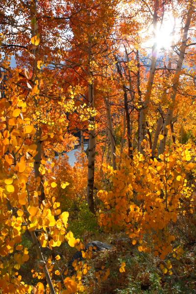 Backlit fall aspens