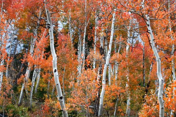 An aspen wonderland--Snowbird, UT
