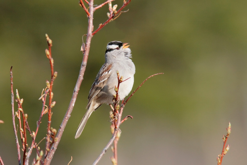 White Crowned Sparrow sings in the Meadow