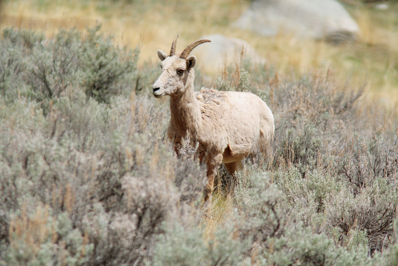 Big Horn Sheep Doe, Lamar Valley