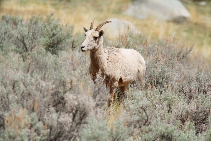 Big Horn Sheep Doe, Lamar Valley
