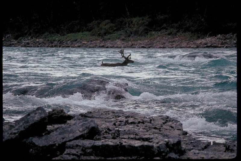 Caribou following us