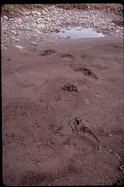 Visitors in the night - large grizzly tracks