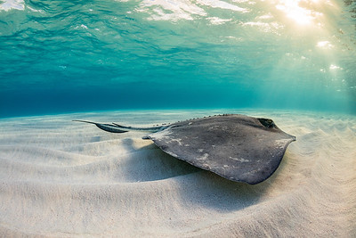 Sunrise Stingray
