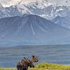 Vertical Moose