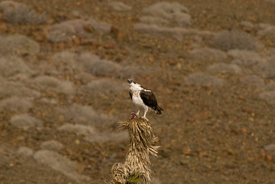 Baja Osprey