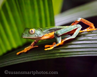 Golden Eyed Tree Frog