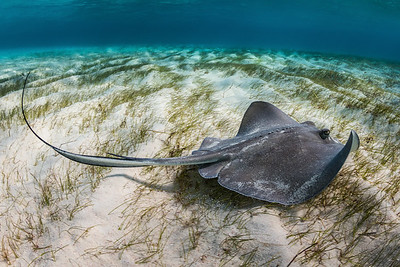 Stingray over Grass