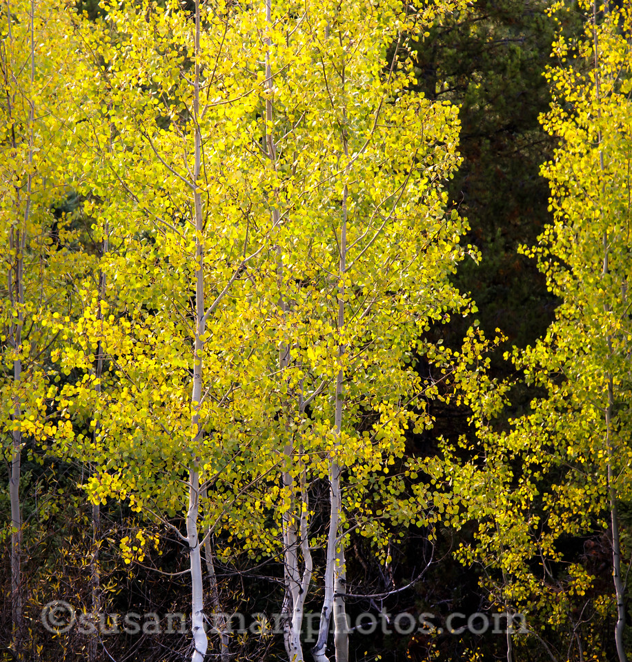 Aspens in the Tetons