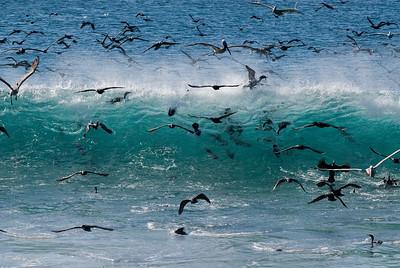 Baja Cormorants
