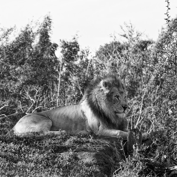 Lion at rest at Disney Animal Kingdom