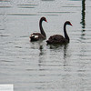 Black Swans - Herăstrău Park - Bucharest Romania
