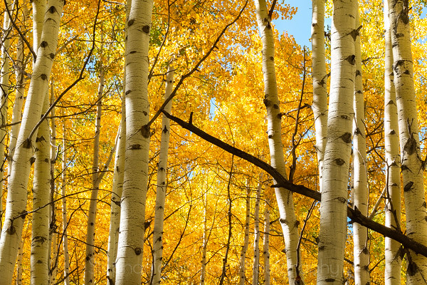 Rocky Mountain Aspens