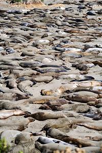Elephant Seals, CA