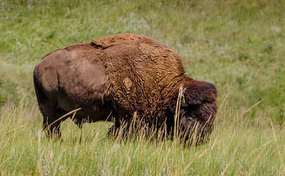 Bison Near Badlands Sage Creek Rim Road
