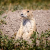 Black-Tailed Prairie Dog on Alert