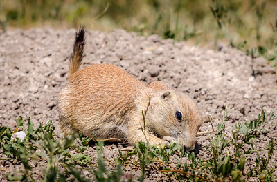 Juvenile Black-Tailed Prairie Dog