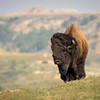 Bison Bull Coming Over Rise