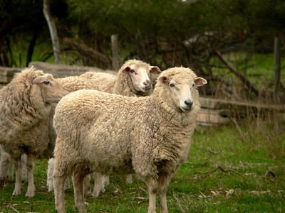 Australian sheep. Panasonic FZ20.