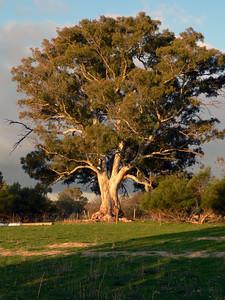 Gum tree in Barossa Valley, Australia. Panasonic FZ20.