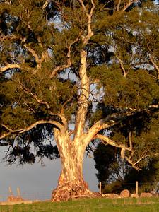 Gum tree in Barossa Valley, Australia.