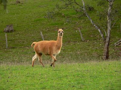 Llamas protect sheep in Australia. Panasonic FZ20.