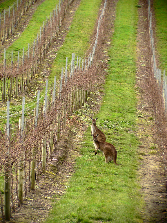 Kangaroos in the vineyard in Barossa Valley, Australia.