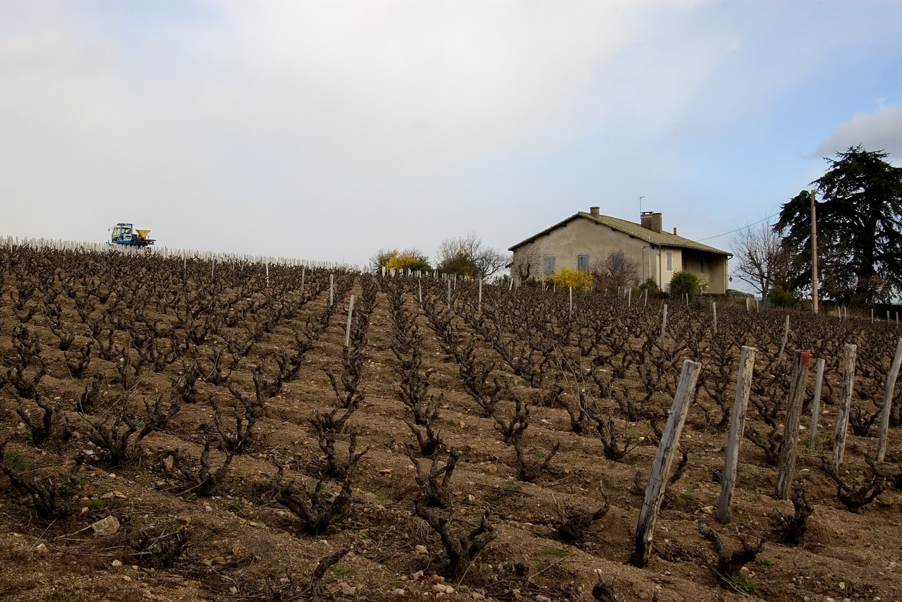 Vineyards of Beaujolais.