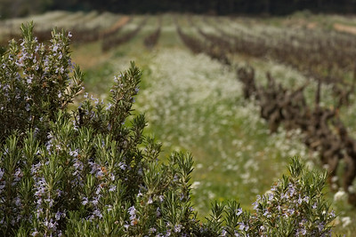 Rosemary and Grape Vines in Provence, France.