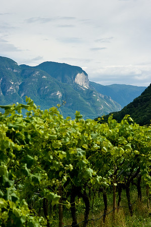 Vineyards in the Alto Adige wine region of Italy.