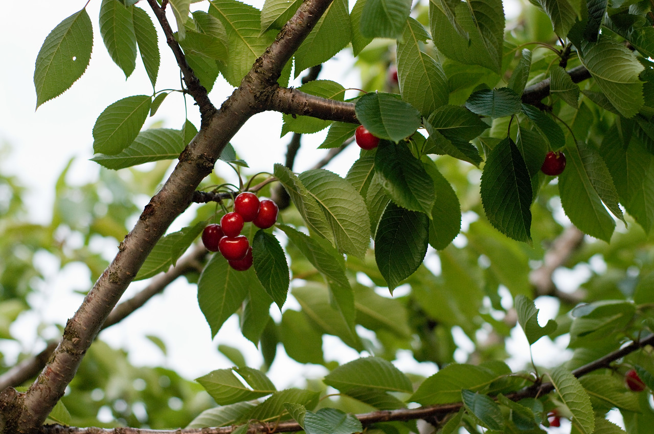 The cherries in Valpolicella are fantastic. They provided a great snack while touring the vineyards.