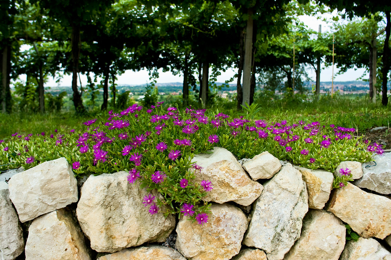 Flowers, rock wall and grape vines at the Arduini Valpolicella winery outside of Verona, Italy.