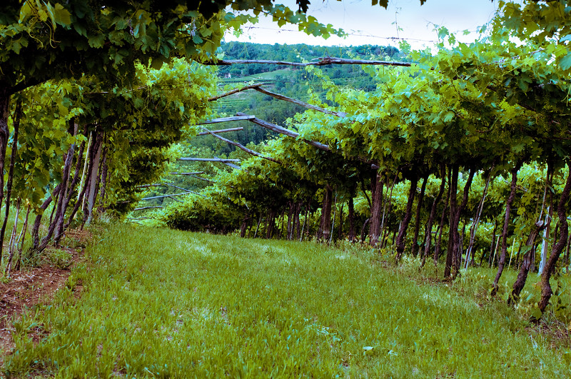 Antolini Valpolicella vineyards at sunset outside of Verona.