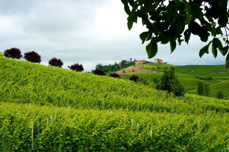 Moscato  d'Asti Vineyards in the Piedmont