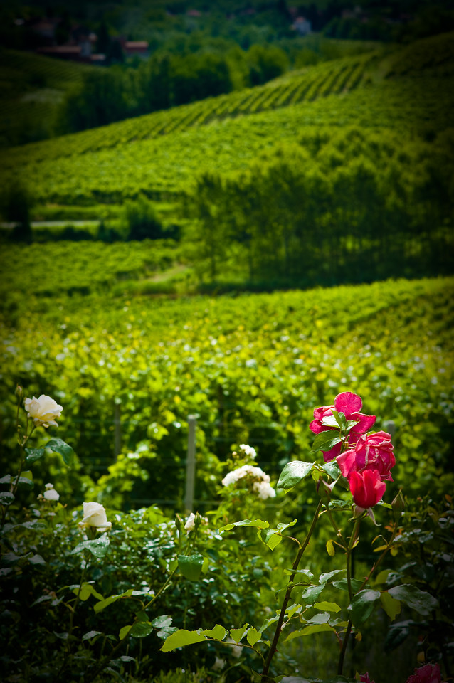 Vignette of Vines and Roses in the Asti Wine region of Piedmonte, Italy next to the original Tenuta I Quaranta house.