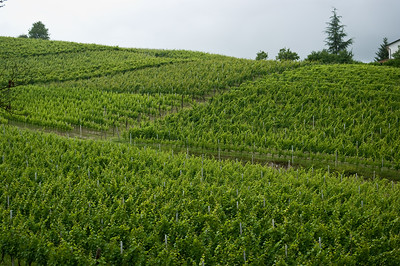 Rolling hills of vines, belonging to Tenuta I Quaranta in the Asti wine region of the Piedmont in Italy.