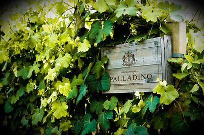 Palladino vineyard in the Piedmont wine region of Italy.