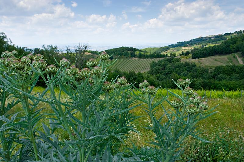 Thisltles in Montalcino