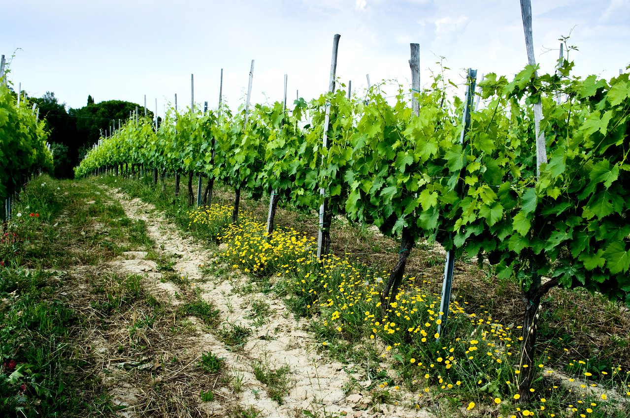Fanetti vineyard in the Montepulciano wine region in Tuscany.