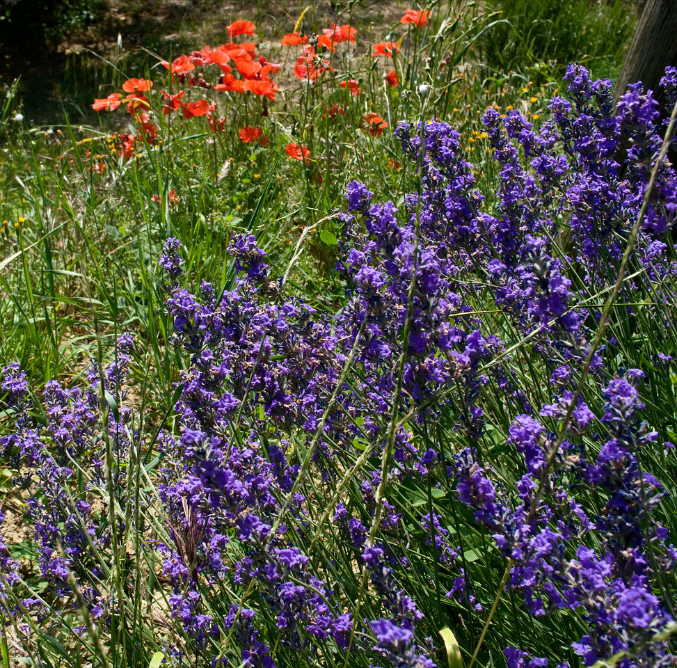 Purple and red wild flowers in the Fanetti vineyards of Montepulciano, Tuscany.