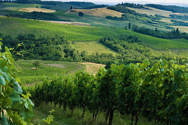 Vineyards of the Rodano Chianti Classico winery in Tuscany, Italy.