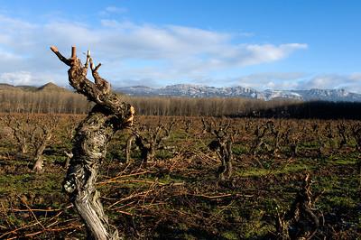 Old vines in Rioja, Spain